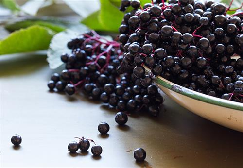 Elderberries for some Elderberry Jelly