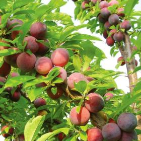 Wild Plums for our Plum Jelly