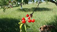 Cherries in June at the orchard