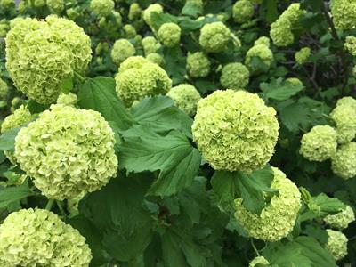 Viburnum : Snowball  April- May