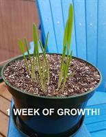 Hemp-Pak 1 week of growth