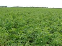 Parkland Industrial Hemp Growers Co-op Ltd.