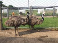 Adult emus can reach up to 6' tall and weigh around 130 poinds.