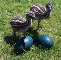 Emu chicks are hatched with chipmjunk like stripe that fade at around 4 months of age.
