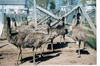 Emu yearlings have grown out their adult feathers and look more like their parents.