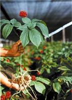 A picture of an American ginseng plant