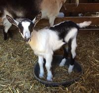 Baby goats arrive in spring