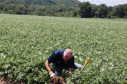 Farmer Larry Alsum evaluating potato growth in the field in Arena, WI