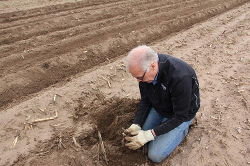 Farmer Larry Alsum evaluating potato development and growth in the field