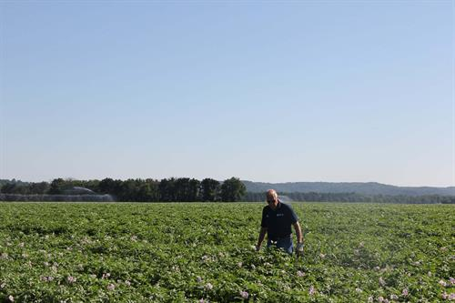 Farmer Larry Alsum in the potato field evaluating plant health