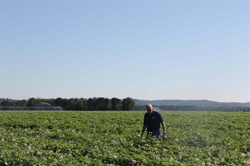 Farmer Larry Alsum in the potato field evaluating plant health