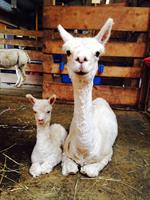 Heidi and cria Annie