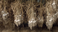 After garlic harvest, several weeks of drying are required to cure the garlic.