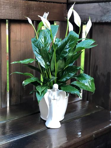"""Angel Kisses"" Peace lily Plant in Angel Ceramic container for sympathy needs."
