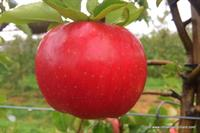 Evercrisp Apple