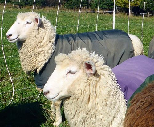Victoria and Ursula are two of the Coopworth ewes growing wool for Autumn Larch Farm LLC yarn and roving