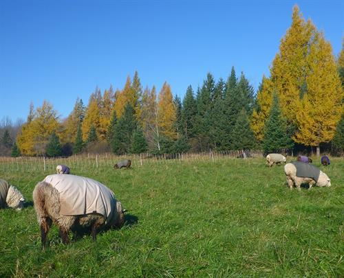 Golden Tamaracks and grazing Coopworth sheep at Autumn Larch Farm LLC