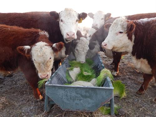 Cows showing calves how to enjoy fresh green sprouts in winter.