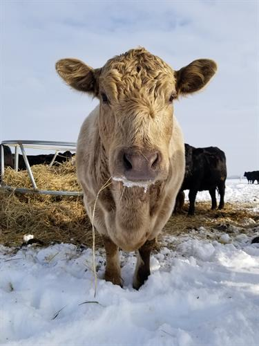 Over winter we feed our cattle hay to meet their nutritional needs.
