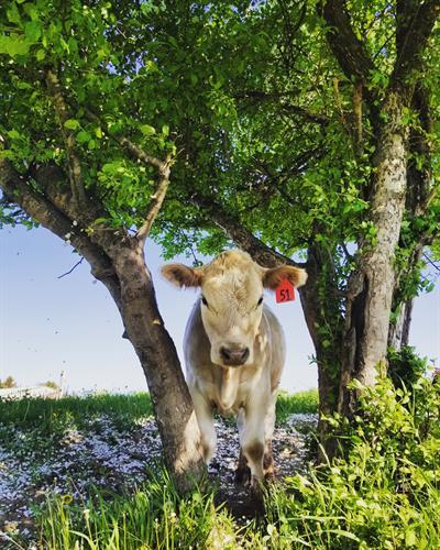 A murray gray calf enjoying some shade.