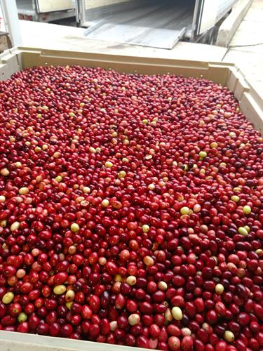 Fresh Cranberries both Conventional and Organic
