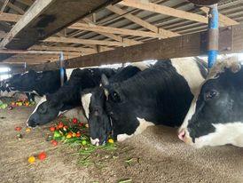 Steers eating vegetables