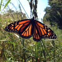 Butterflies...a great sign of wetland creation success at the UD Woodlot.