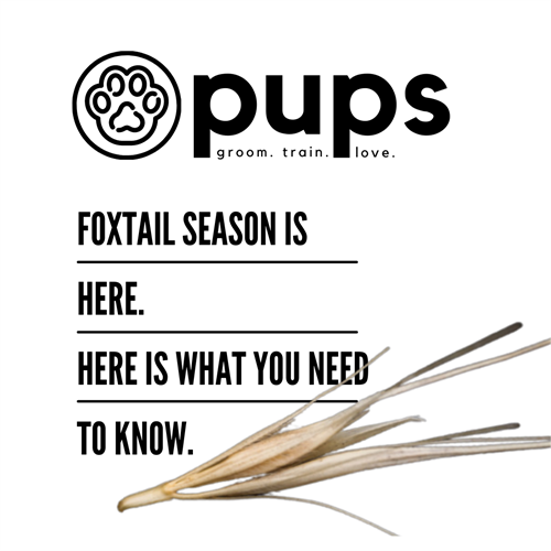 Foxtail Season
