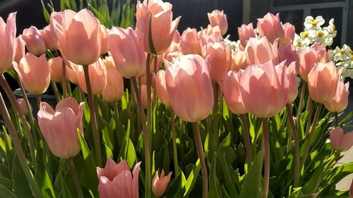 Spring Flower Bulb Show At Hidden Lake Gardens Mar 9 2019 To Mar