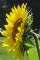 Gallery Image sunflower.JPG