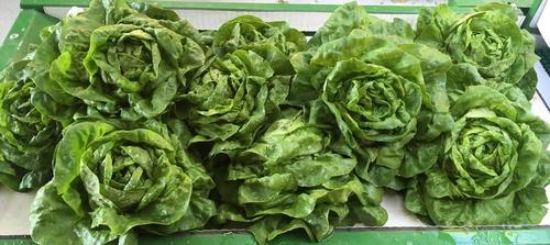 Gallery Image head_lettuce.jpg