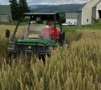 Earl Bessette checking the wheat