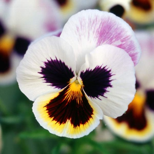 Gallery Image pasquesiPansy_Sale2020-small.jpg