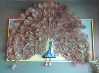 Gallery Image peacock.jpg