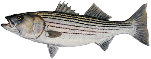 Gallery Image striper.png