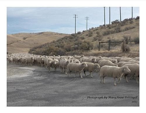 Gallery Image Sheephearding%202%2010-2013.jpg