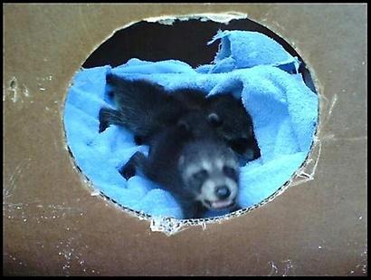 Gallery Image raccoon%20babies.jpg
