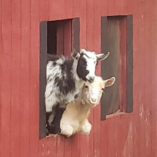 Our Goats Love Visitors