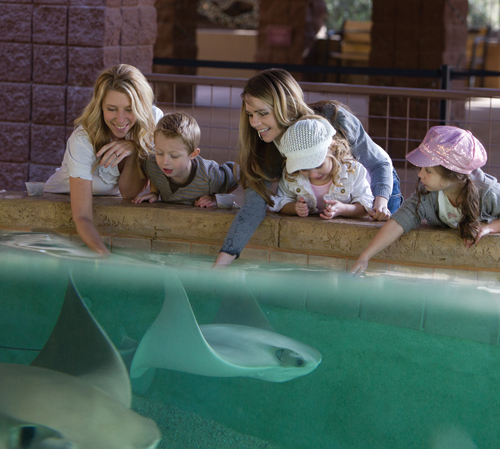 Stingray Bay is an interactive experience allowing guests to come hand to fin with our school of cownose stingrays.