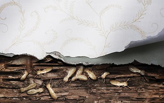 Gallery Image Termites.jpg