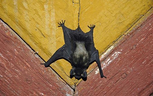 Gallery Image vampire-bat-528x332.jpg