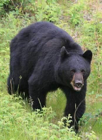 Gallery Image black-bear.jpg