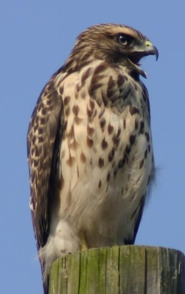 Gallery Image red-shouldered-hawk.jpg