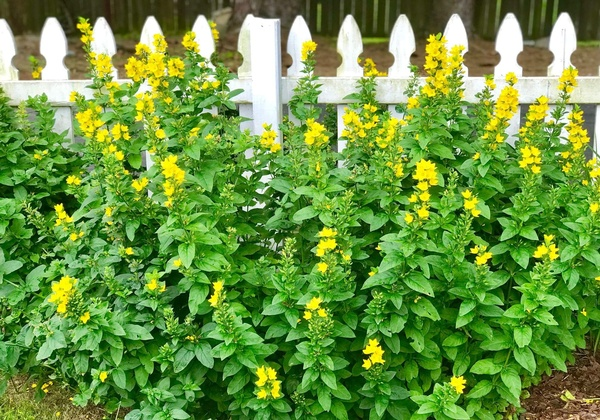 Gallery Image yellow-flowers-fence-min.jpg