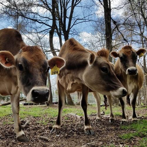 Gallery Image Cows.jpg