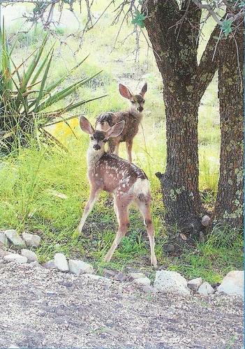 New neighbors... spotted fawns