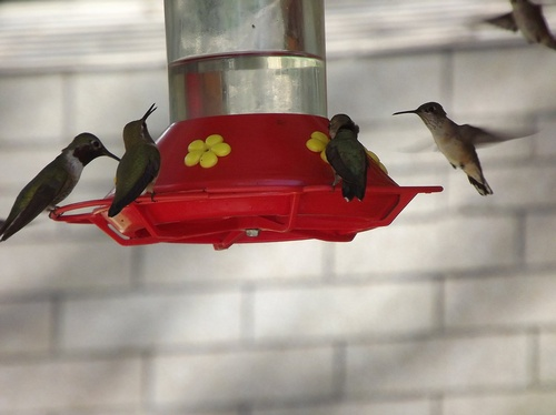 Hummingbirds love the feeders