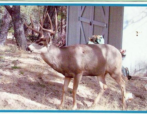 A Mule Deer makes a visit