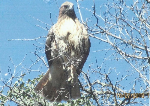A Red Tail Hawk watches from a tree top