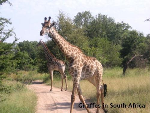 Gallery Image Giraffes%20in%20S_121212-060532.jpg